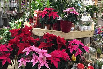 Christmas Range of house plants